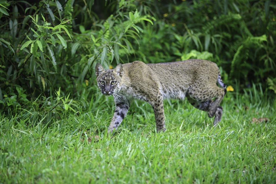 Bobcat hunting along the boundary of a wetland in Stuart