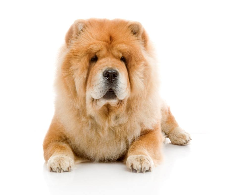 Chow-Chow dog in studio