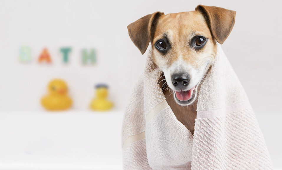 dog in the bathroom after a bath wrapped in a towel