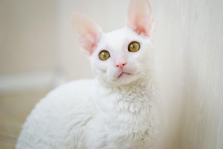 Cornish Rex cat looking at photographer