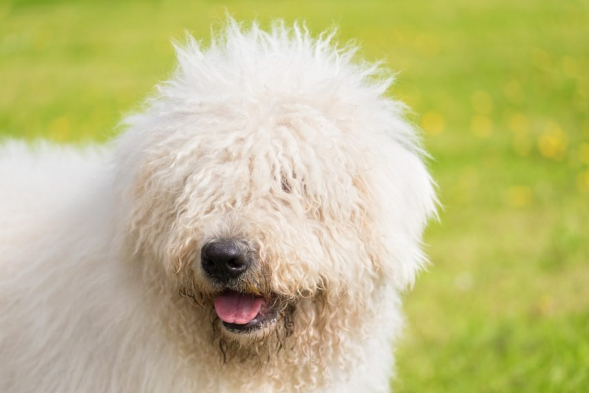 Cute Komondor dog