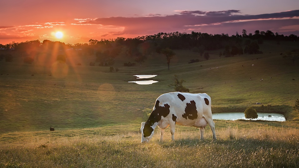 Dairy Cow Grazing at Sunset