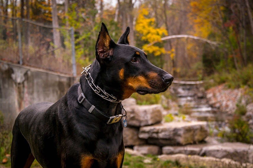 Doberman posing by a Ravine