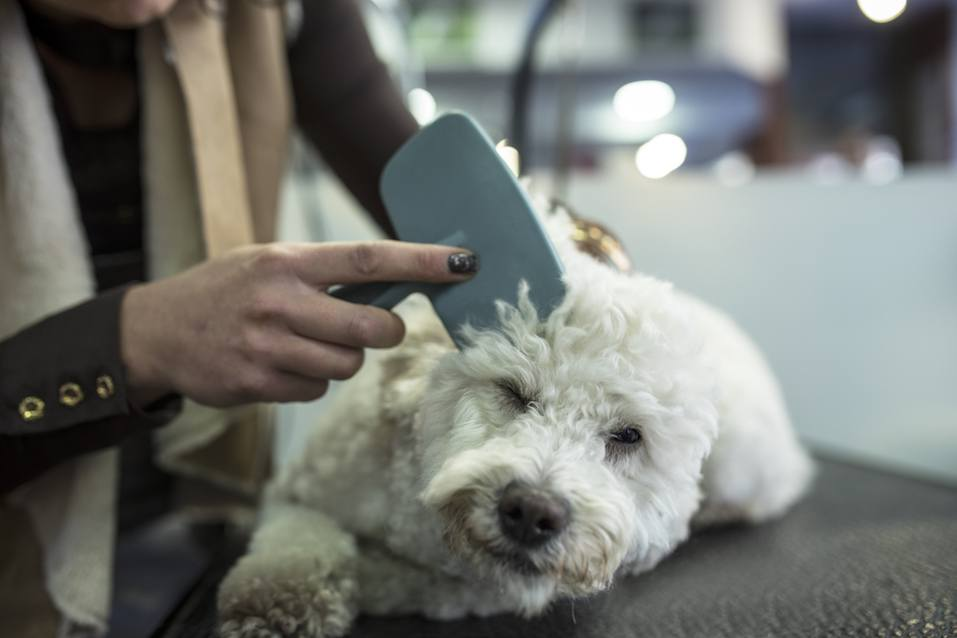 Combing cute little white dog