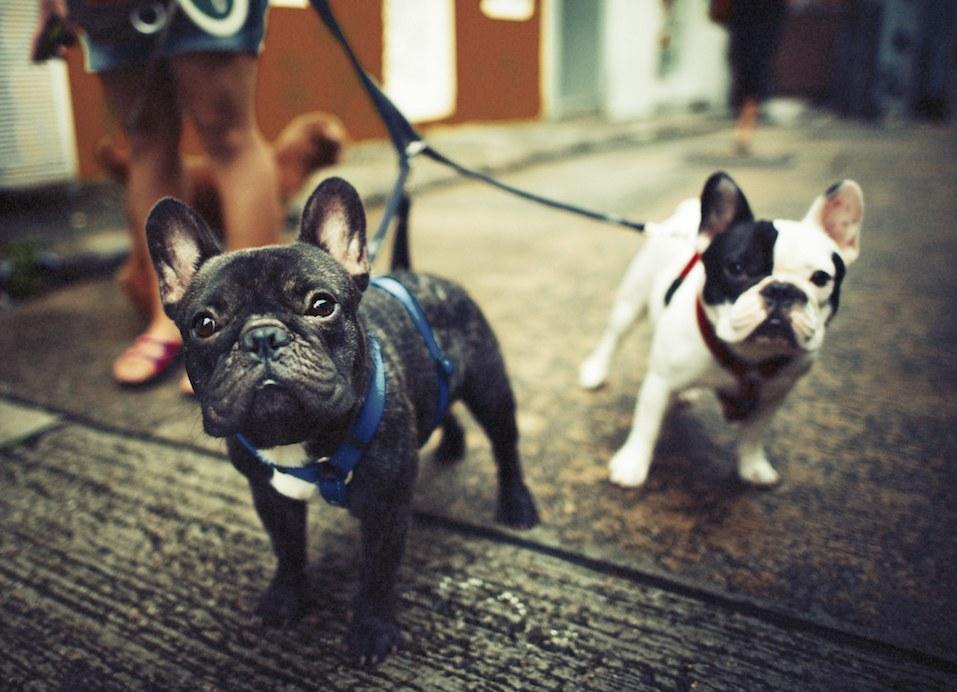 French Bulldog Take a Walk