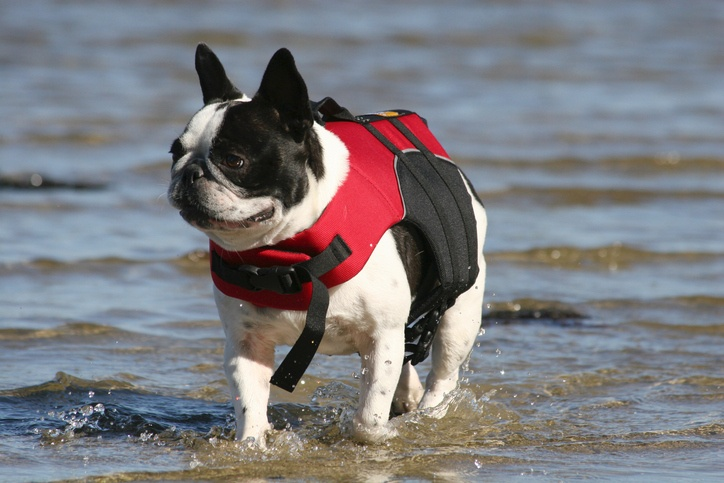 French Bulldog in Lifevest