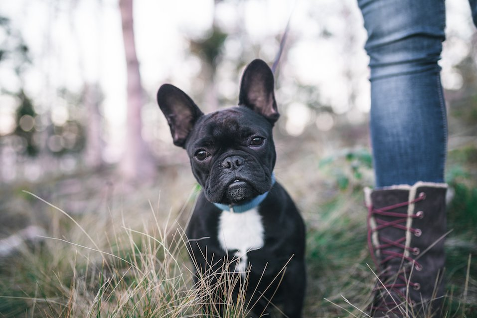 Cute black French bulldog puppy