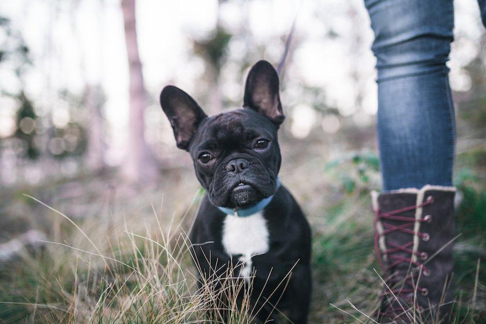 Cute black French bulldog puppy