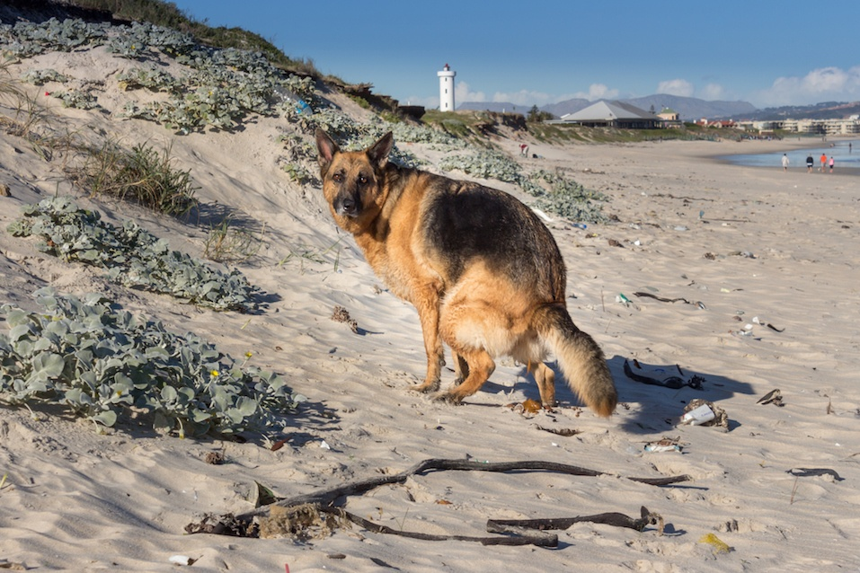 German Shepherd dog on the beach