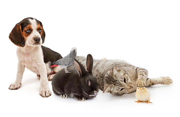 A group of domestic pets, including a puppy, parrot, rabbit, cat, and a baby chicken all sitting together