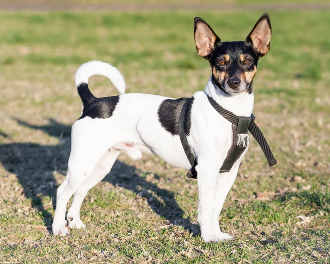 Rat terrier dog standing in black harness on green grass in a park