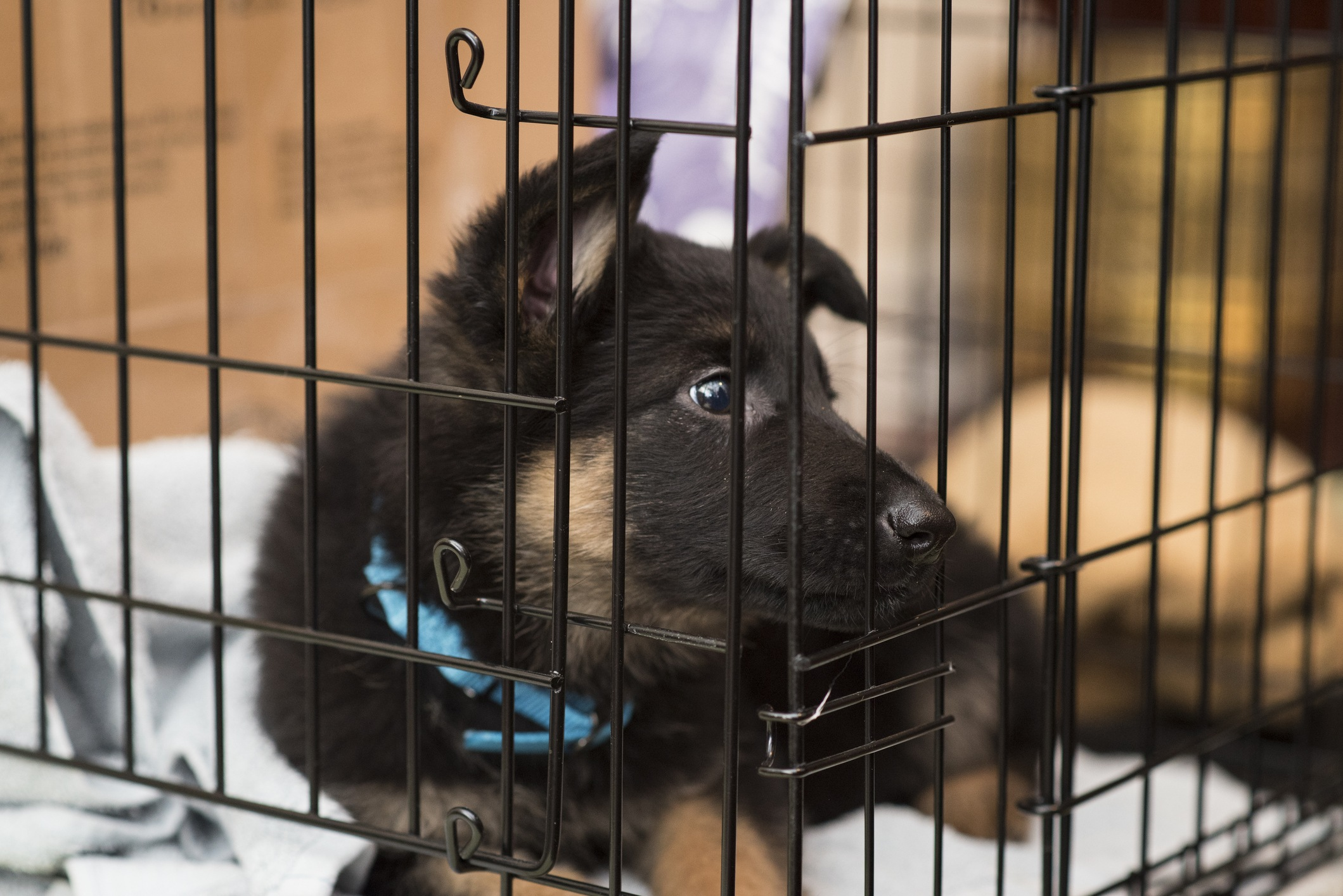 A German Shepherd puppy in its crate
