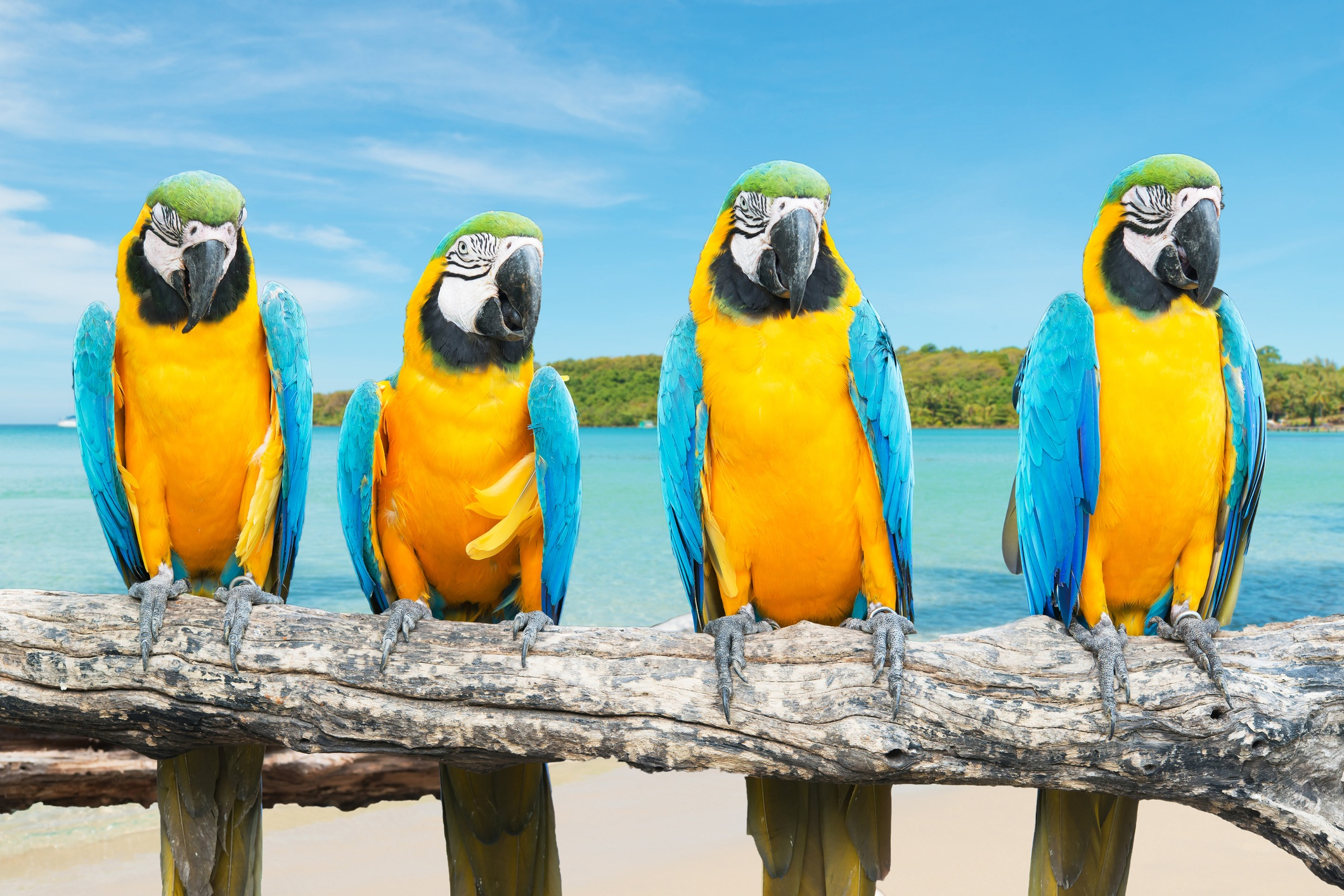 four blue and gold macaws on tropical beach