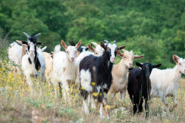 Goats on a summer pasture.