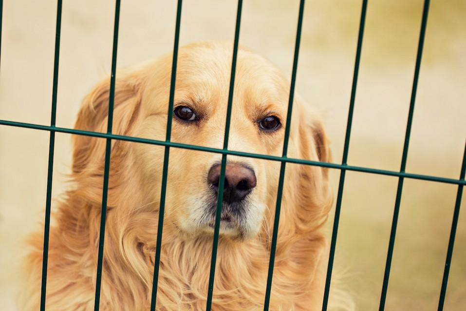 Golden retriever in cage