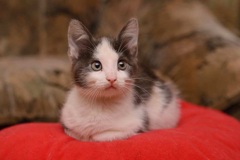 Gray white kitten sitting on a red cushion