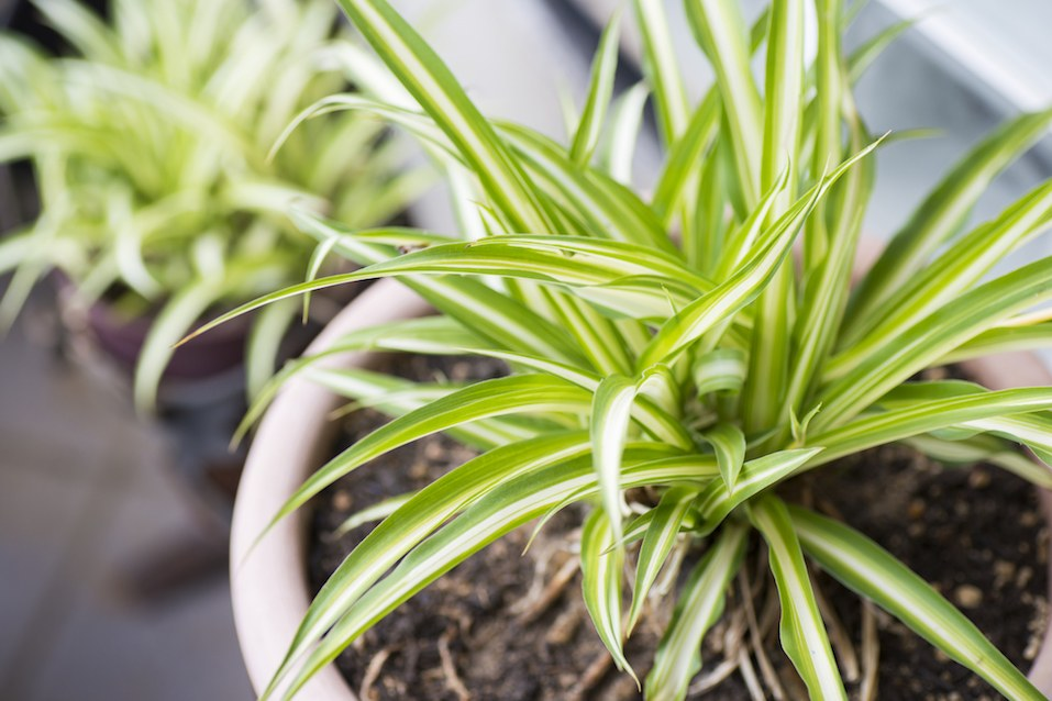 Green Leaves Of Spider Plant