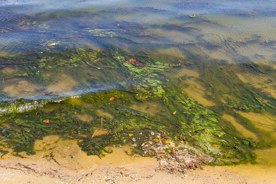 Green algae in water on sandy beach