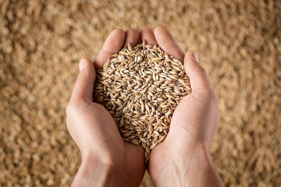 farmer's hands full of grain