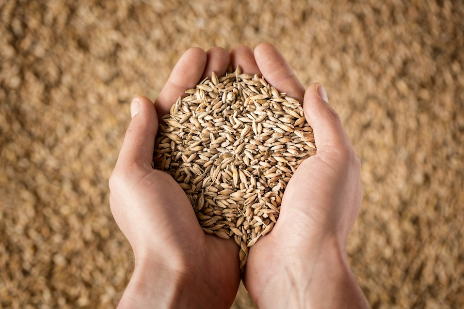 farmer's hands full of grain