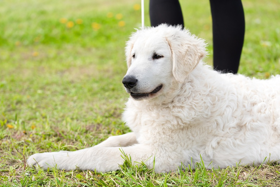 Hungarian Kuvasz dog in the park