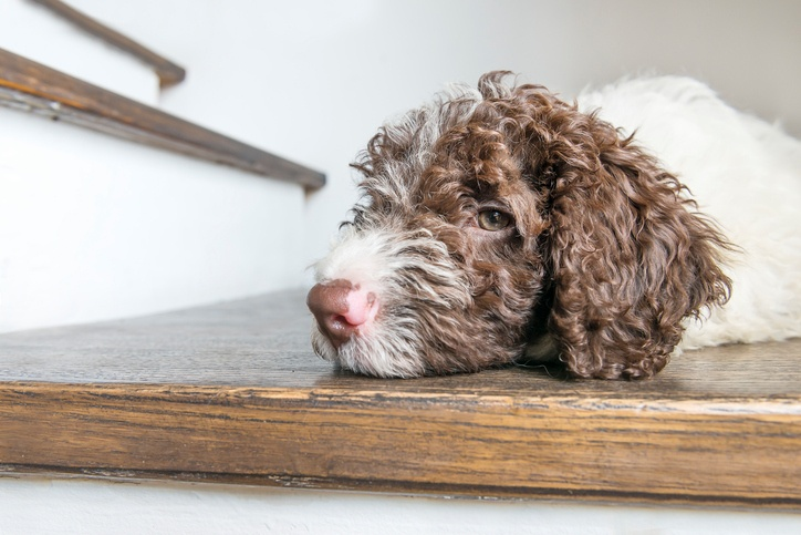 lagotto romagnolo puppy resting on a wooden floor