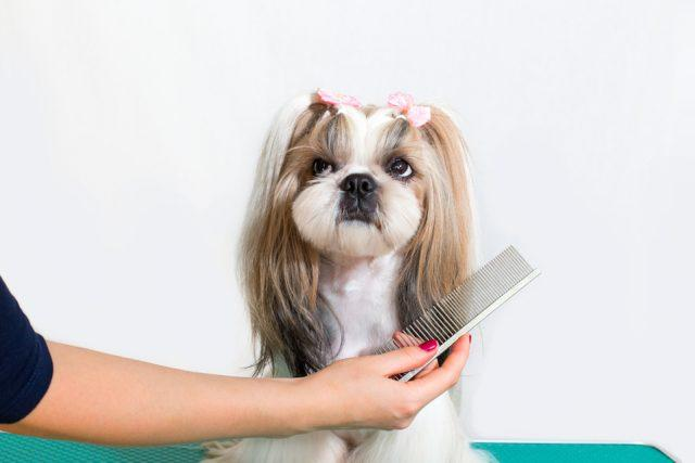 Little beauty shih-tzu dog at the groomer's hand