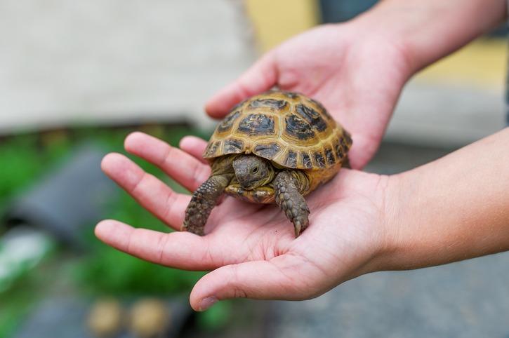 Little turtle in hands
