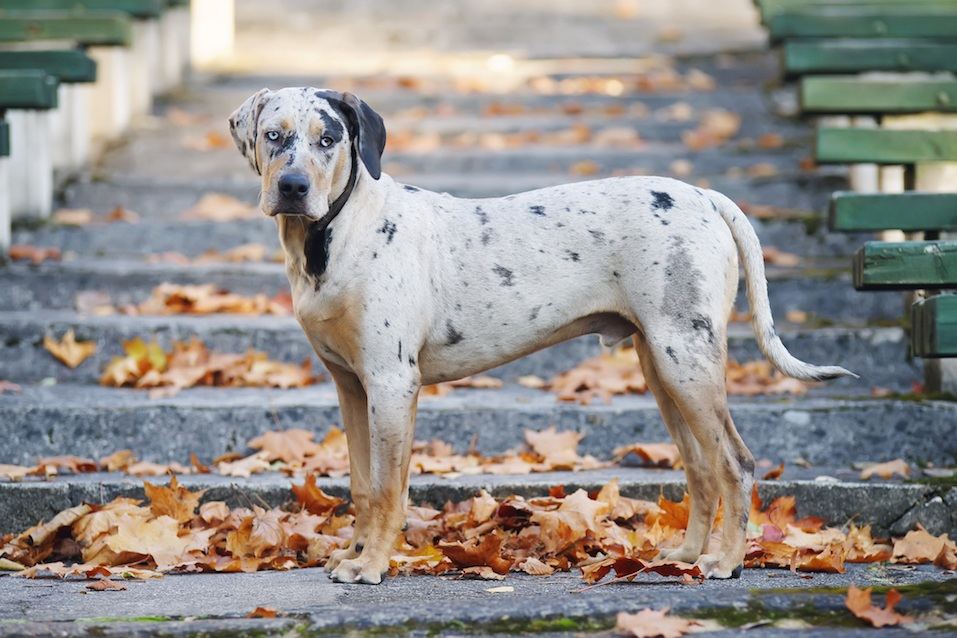 Young Louisiana Catahoula Leopard dog staying on the stairs