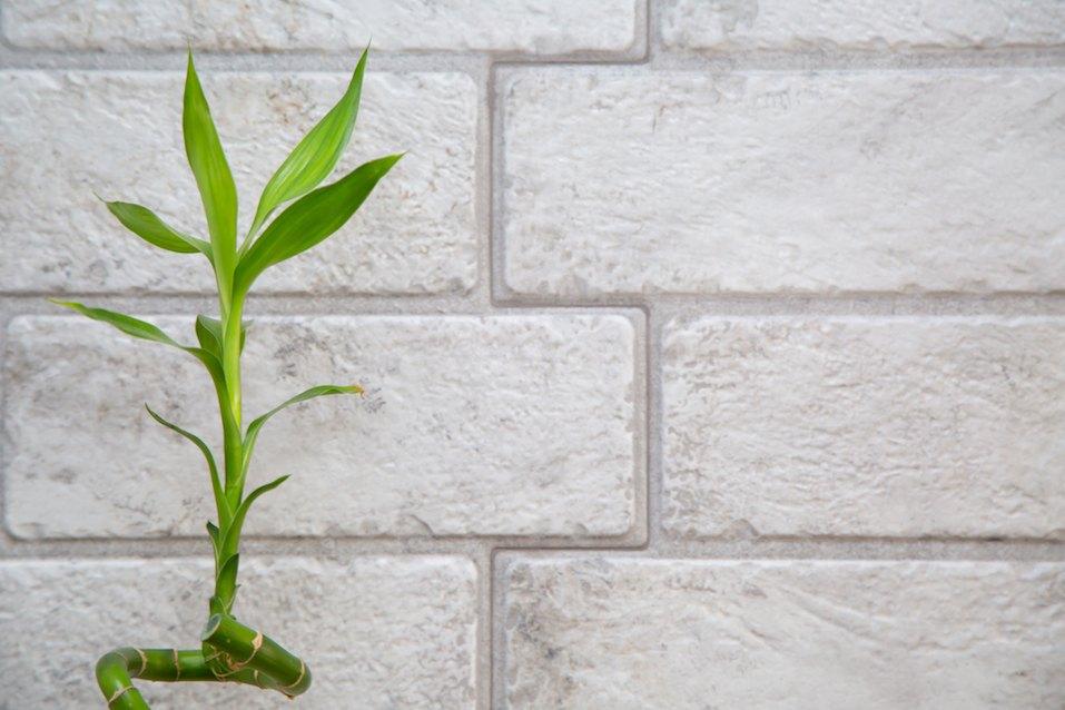 Lucky bamboo Belgian evergreen