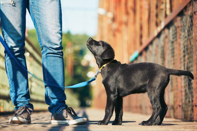 walking a black Lab puppy