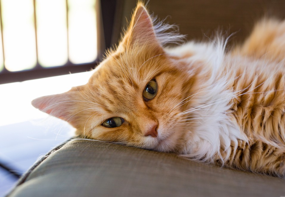 Norwegian Forest Cat Relaxed