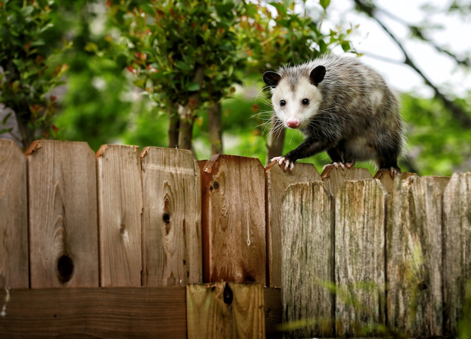 Common Opossum walking