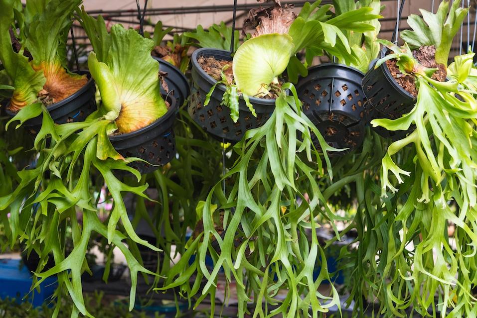 Platycerium, staghorn fern