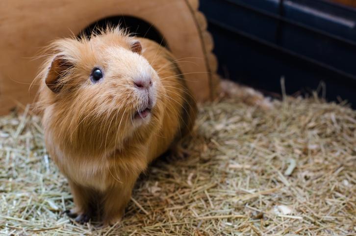 Portrait of cute red guinea pig