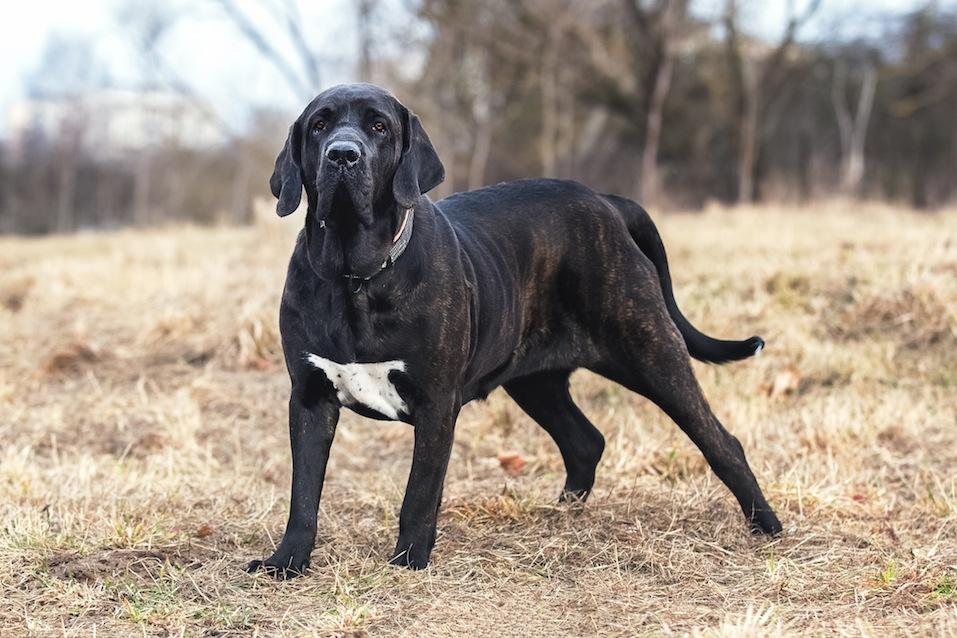 Portrait of dog Fila Brasileiro