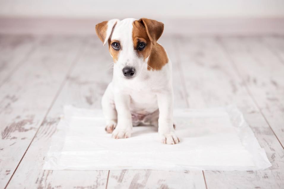 Puppy on absorbent litter