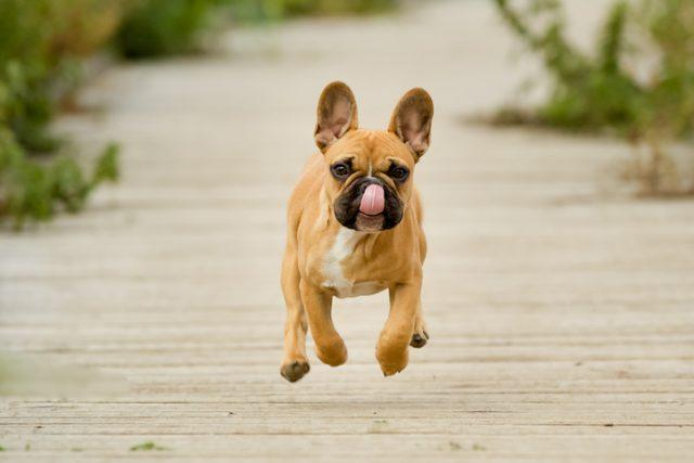 The French bulldog is one of the best dogs for kids