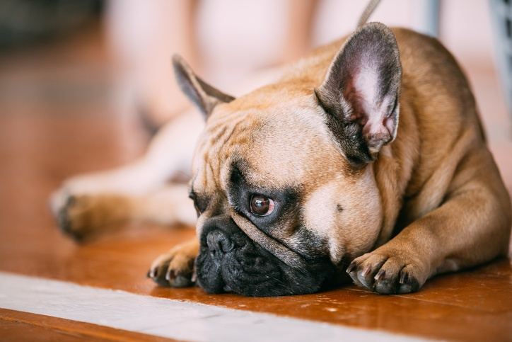 Sad Lovely Dog French Bulldog