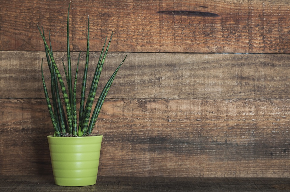 Sansevieria cylindrica green plant on wooden background