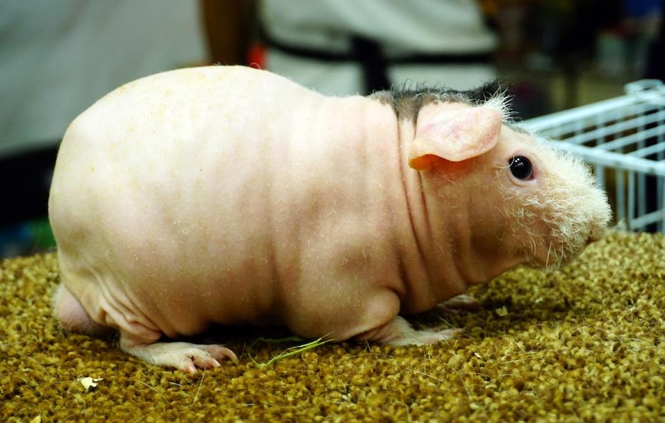 Skinny Guinea pig , hairless cavy