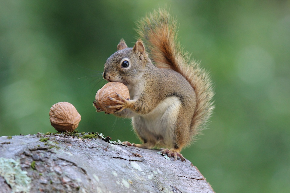 Squirrel holds a Nut