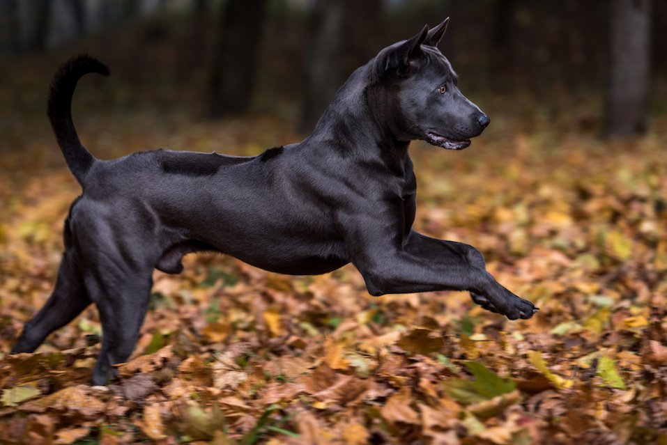 Thai Ridgeback Dog is Running