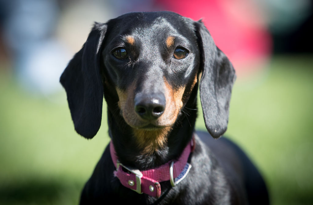 The Sausage Dog Club Meets For Its Annual Walk In Bath
