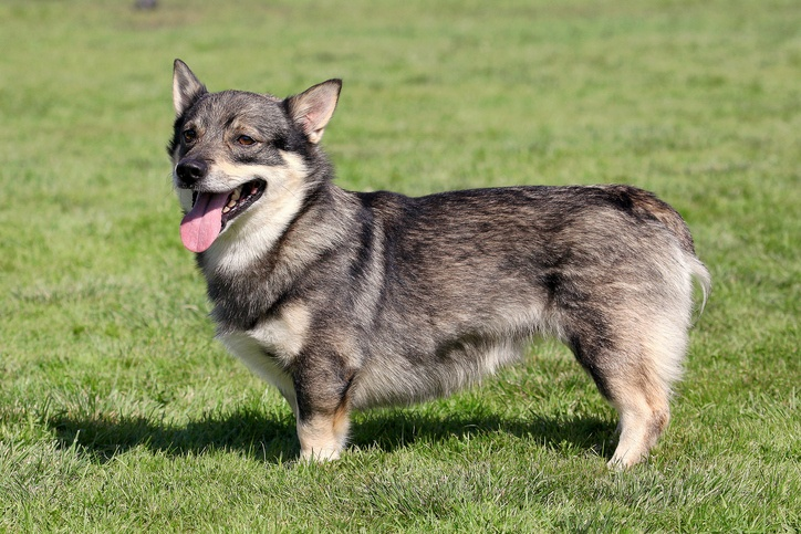 The typical Swedish Vallhund