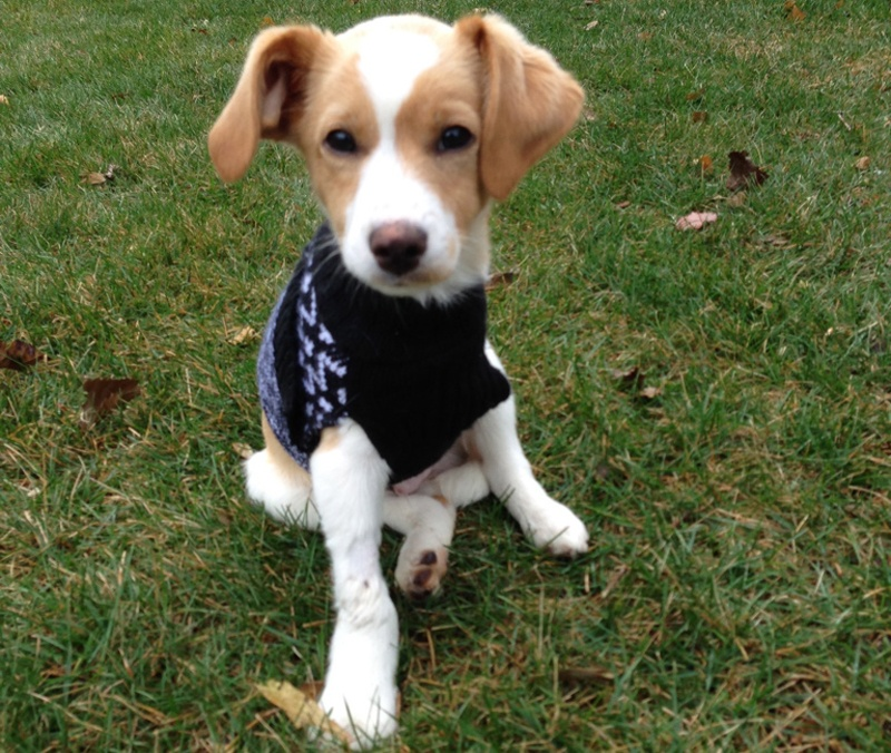 three-legged puppy in sweater