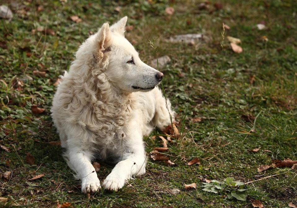 White Hungarian sheepdog Mudi outdoor