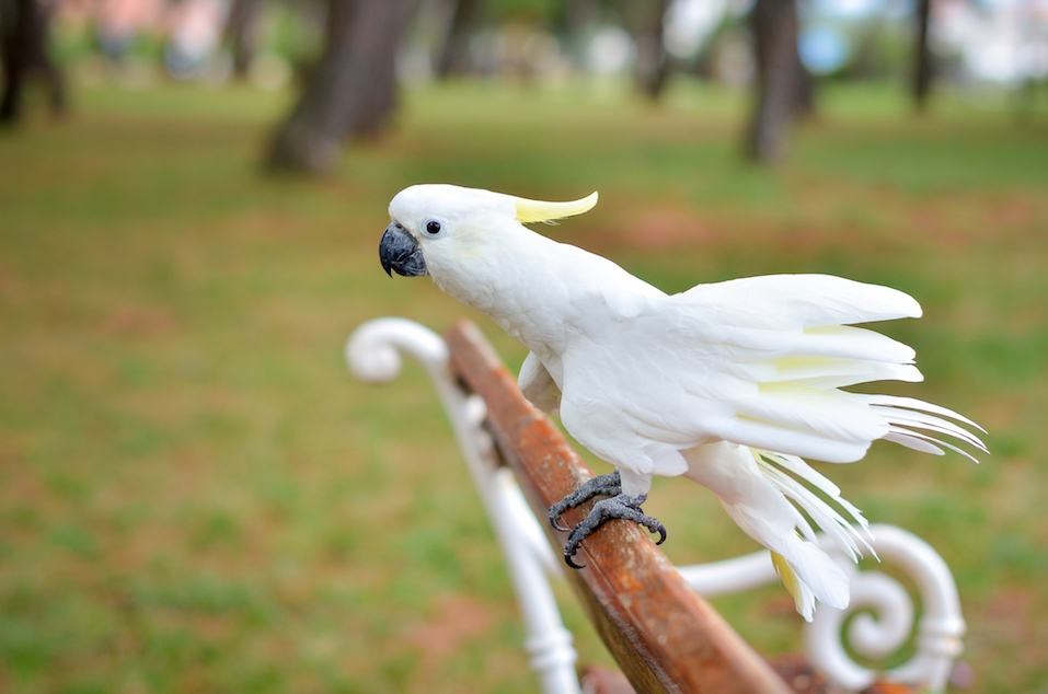 White Parrot - Sulphur-crested cockatoo