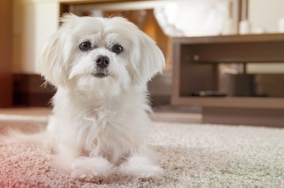 White maltese dog lies on carpet and looking ahead