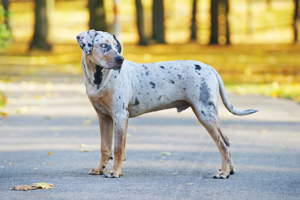 Young Louisiana Catahoula Leopard dog